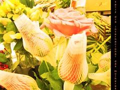 Dia Internacional das Mulheres (laryleal) Tags: canon flor rosa amarelo botão homenagem botãoderosa diainternacionaldamulher flres sx10 laryleal larissaleal