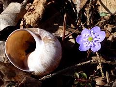 . (dianetta77) Tags: flower woods slovenia fiore lumaca bosco chiocciola foresta slovenja