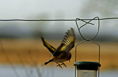 Goldfinch (Chris McLoughlin) Tags: uk england bird nature day wildlife sony goldfinch yorkshire tamron westyorkshire a300 fairburnings 70mm300mm sonya300 tamron70mm300mm sonyalpha300 alpha300 chrismcloughlin