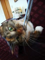 Gracie and the Camera Strap, Part One 0939b (edgarandron - Busy!) Tags: camera cats cute cat gracie feline play tabby kitty tortoiseshell kitties tortie torbie
