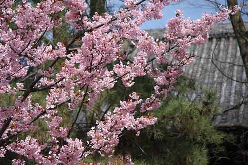 満開の蜂須賀桜