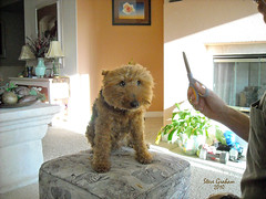 trim time (photo by Dawn Wasson) (artfilmusic) Tags: maggie terrier welsh