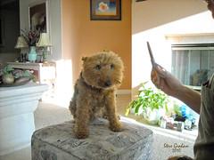 trim time (photo by Dawn Wasson) (artfilmusic) Tags: maggie terrier welsh