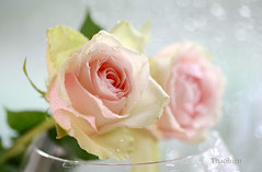 Loving Roses (Tran_Thaohien) Tags: flowers two flower love canon 5d caring care markii boker valentinescard thaohien