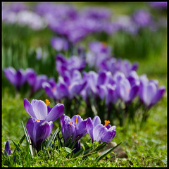 Colour at last! (Stuart-Lee) Tags: uk greatbritain england flower nature kent purple crocus canterbury gb