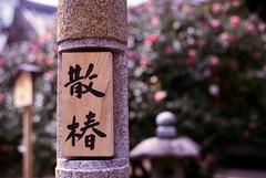 (cocoaloco) Tags: flower t 50mm nikon kyoto f14  f3 camellia planar carlzeiss    planart5014