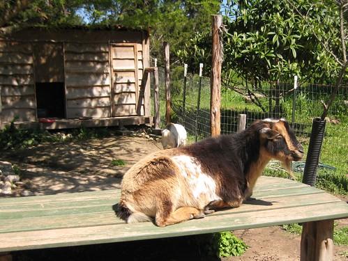 goat!