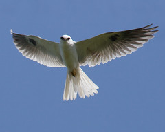 White-tailed Kite Photo