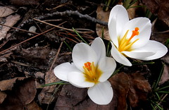 little spring lily (dmixo6) Tags: flowers canada colour spring earth crocus seeds april bulbs muskoka 2010 dmixo6