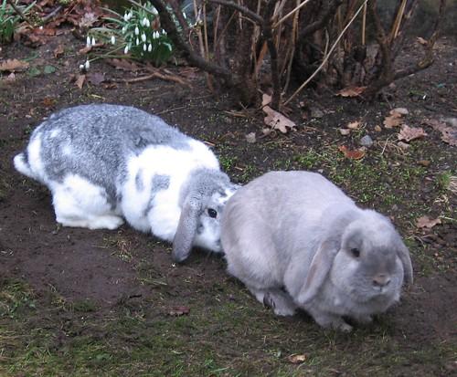 Kaniner