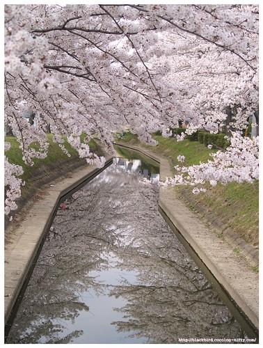 Sakura river 100406 #03