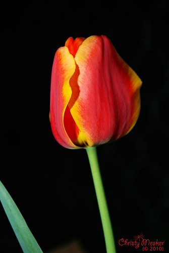 First Tulip - 95/365