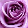 Rose - Roos (Cajaflez) Tags: flower rose roos lila lilac bloem natureselegantshots wonderfulworldofflowers saariysqualitypictures newgoldenseal 1001nightsmagiccity