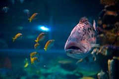 _DSC1286.jpg (aeschylus18917) Tags: fish thailand zoo aquarium nikon marine chiangmai txt edit pxt grouper 50mmf14d chiangmaizoo   d700  ratchaanachakthai nikond700 danielruyle aeschylus18917 danruyle druyle chiangmaiaquarium