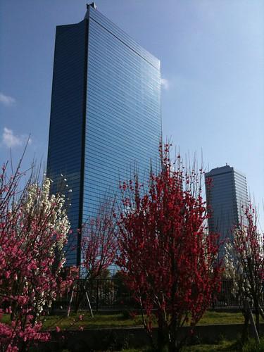 OBPの高層ビルに桜