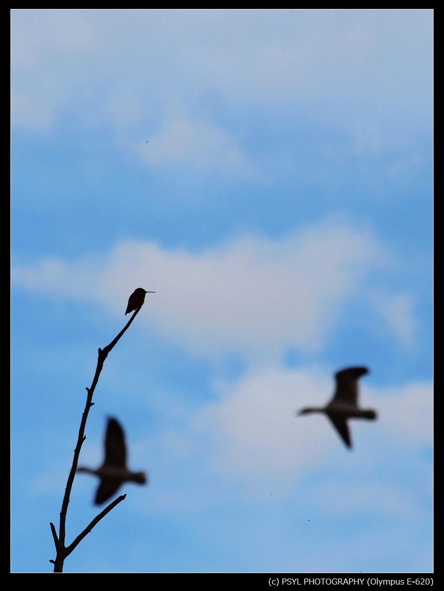 Rufous Hummingbird and Snow Geese