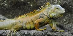 iguana (1) (el gato negro loco) Tags: wild pet rome roma nature animal zoo reptile natura science iguana biology animali salamandra cuccioli rettile bioparco selvaggio