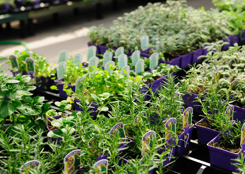 Rows of Herbs