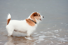 Billy the Jack Russell (brotherlemski) Tags: dog pet beach animal scotland sand places terrier jackrussell gullane eastlothian