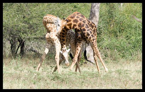 giraffe play 1