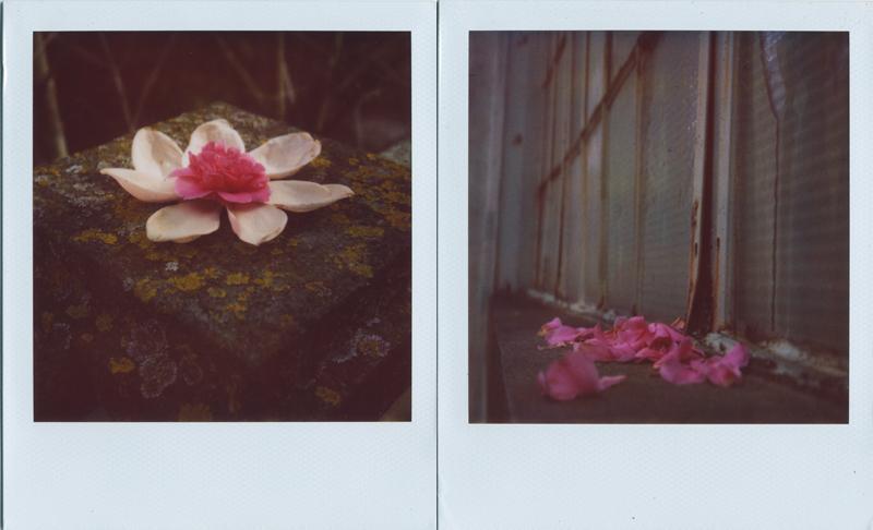 camelia and magnolia