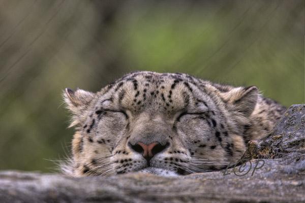 Snow Leopard: Marwell