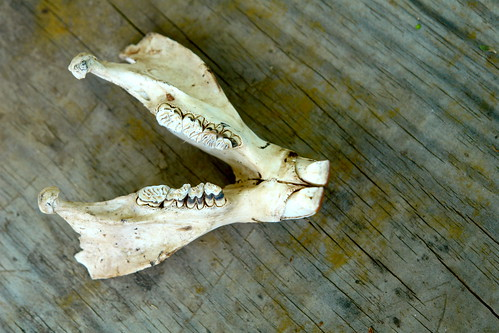Beaver Jaw (lower)