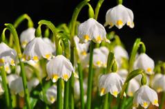 On the Ground Wet (stigkk) Tags: light plants macro nature wet spring dof dew blomster vår snøklokker whitegreen dugg norgenorway nikond90 nikkor18105mm stigkk