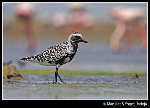 Grey Plover or Black Bellied Plover in breeding plumage (Pluvialis squatarola)