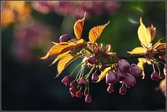 blossom bokeh (Zino2009 (bob van den berg)) Tags: morning pink light sunset sunlight garden gold backyard bokeh tuin sonnenaufgang garten picnik roze prunus greatphoto kersenbloesem sonnenlicht zonsopkomst serrulata japansekers goldenleafs bej abigfave bobvandenberg morgenfrh zino2009