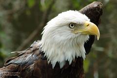 Bald Eagle Portrait (D200-PAUL) Tags: tampa eagle baldeagle raptor lowryparkzoo tampazoo lowryzoo aboveandbeyondlevel4 aboveandbeyondlevel1 aboveandbeyondlevel2 aboveandbeyondlevel3