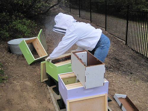 Putting my bees in their hive