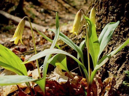 Troutlily - Erythronium americanum