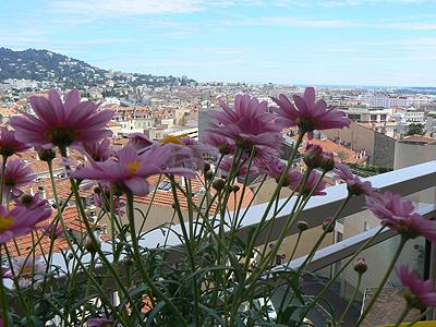 Anthemis sur la terrasse.jpg