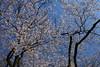 桜色の青空