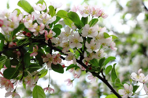 Crabapple Tree Flowers