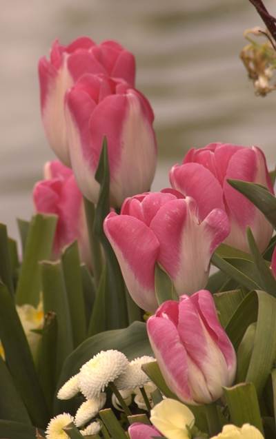 04-30-2010_pink-white-tulips_rs