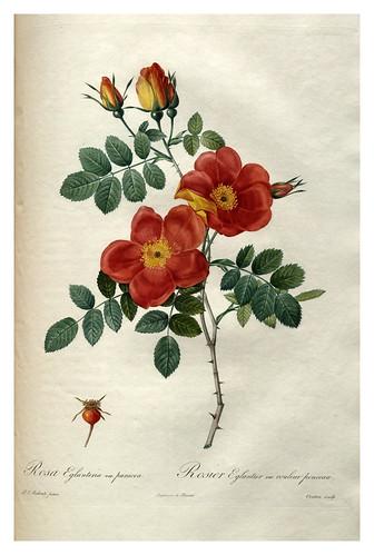010-Les roses 1817-1824- Pierre-Joseph Redouté