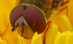Hoverfly Close-up (steb1) Tags: macro closeup insect dandelion hoverfly