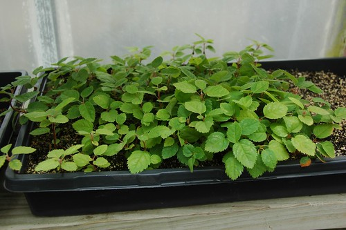 Amelanchier canadensis seedlings