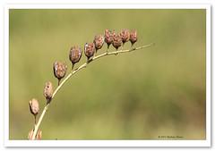 Native Rosella Seed Pods-9815 (Barbara J H) Tags: weed seeds hibiscus seedpods pods ilfracombe outbackaustralia nativehibiscus roadsideweed barbarajh nativerosella malcaceae rodneydowns ilfracombearea abelmoschusficulneus