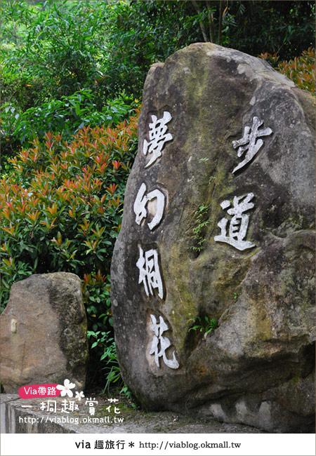 【苗栗油桐花季】苗栗頭屋~夢幻桐花步道3