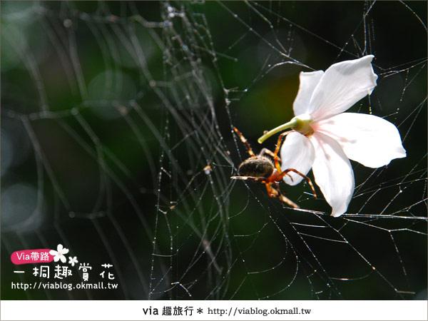 【苗栗油桐花季】苗栗頭屋~夢幻桐花步道19