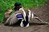D5 Dinton Pastures 061 (PeaTJay) Tags: flowers plants nature birds gardens lakes reserve ducks carlsbirdclub