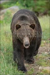 00137119 (wolfgangkaehler) Tags: bear canada closeup vancouver walking mammal britishcolumbia wildlife northamerica grizzly captive vancouverbc grousemountain grizzlybear britishcolumbiacanada wildlifepark captiveanimal mammalexhibit