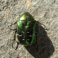 ROSECHAFER (Siri Chandra) Tags: color colour green animal spring emerald greengreengreen rosechafer verdeverde