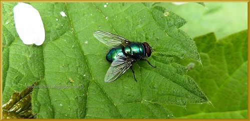 Green |Bottle Fly