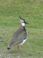 lapwing (ewjz31) Tags: bird lapwing moorland wader