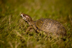 Speedy turtle 2 (Mark Tenney) Tags: blur green grass turtle reptile nikond50 panning boxturtle