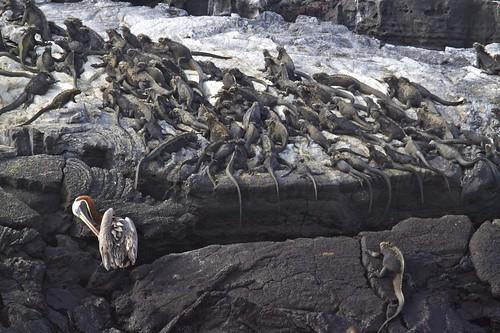 Marine Iguanas (Amblyrhynchus cristatus) and Pelican
